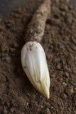 莴荬菜在土壤增长的/Chicory 库存照片