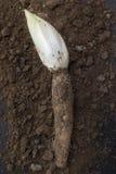 莴荬菜在土壤增长的/Chicory 库存图片