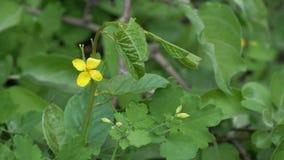 药用植物的黄色花是在自然本底的白屈菜 股票录像