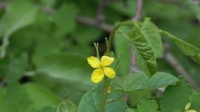 药用植物的黄色花是在自然本底的白屈菜 股票视频