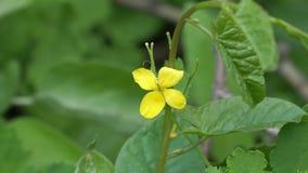 药用植物的黄色花是在自然本底的白屈菜 影视素材