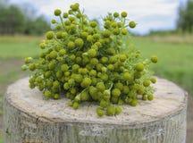 药用植物-与开花的配药春黄菊在一个木树桩 免版税库存图片
