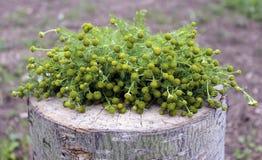 药用植物-与开花的配药春黄菊在一个木树桩 库存图片