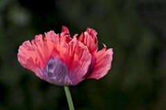药用植物 免版税库存照片