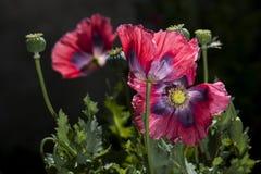 药用植物 免版税图库摄影