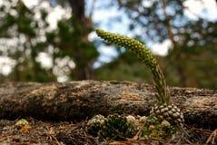 药用植物orostachys spinosa哈萨克斯坦 免版税库存图片