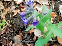 药用植物Pulmonaria森林 免版税库存照片