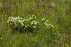荷兰三叶草或车轴草repens经常遇见了狂放的白花, Plana山 免版税库存图片