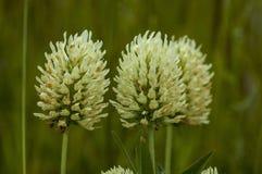 荷兰三叶草或车轴草repens经常遇见了狂放的白花, Plana山 免版税库存照片