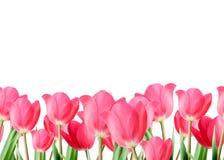 荷兰在白色隔绝的桃红色郁金香 背景蒲公英充分的草甸春天黄色 库存图片