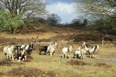 荷兰地方品种的山羊 库存图片