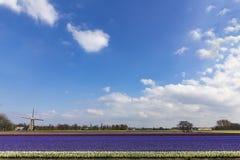荷兰多颜色hyacinthe bullb农场 图库摄影