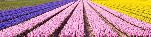 荷兰春天五颜六色的风信花领域五颜六色的全景背景 库存图片