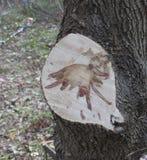 荷兰榆树病造成的污点 库存照片