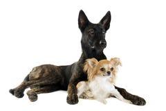 荷兰牧羊人和奇瓦瓦狗 免版税库存照片