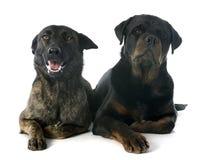 荷兰牧羊人和rottweiler 免版税库存照片