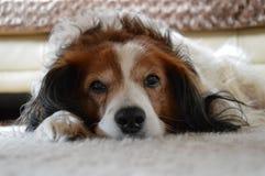 荷兰狗 库存图片