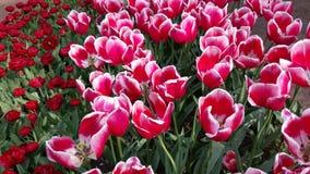 荷兰的花 库存照片