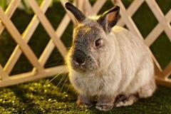 荷兰矮小的兔子 免版税库存图片