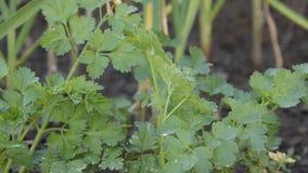 荷兰芹植物接近的看法  农业,从事园艺 股票视频