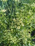 荷兰芹植物(岩芹crispum) 免版税库存照片