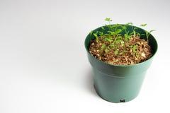 荷兰芹种植罐 库存图片
