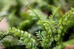 荷兰芹蕨 图库摄影