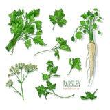 荷兰芹集合 与绿色的手拉的五颜六色的收藏,束,叶子,根,花 也corel凹道例证向量 图库摄影