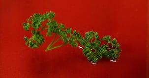 荷兰芹,岩芹crispum,落入tomatoe ` s汁液, 股票录像