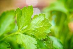 荷兰芹 岩芹 便利设施背景创建查出的叶子荷兰芹变化的白色 绿色叶子 生长在庭院里的荷兰芹 特写镜头 领域 农场 农业 免版税库存照片