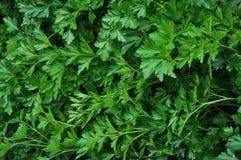 荷兰芹绿色leaf_3 库存图片