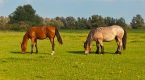 荷兰语吃草的马草甸二 图库摄影