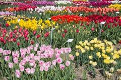 荷兰语显示有几的庭院种类五颜六色的郁金香 免版税库存照片