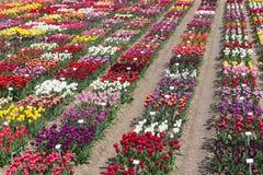 荷兰语显示有几的庭院种类五颜六色的郁金香 免版税图库摄影