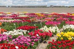 荷兰语显示有几的庭院种类五颜六色的郁金香 库存照片