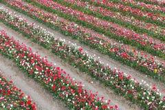 荷兰语显示有杂色郁金香线的庭院  库存图片