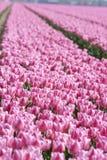 荷兰语桃红色tulipfield郁金香 库存照片