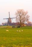 荷兰语横向磨房绵羊冬天 免版税库存照片