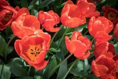 荷兰语红色郁金香 免版税库存图片
