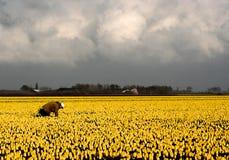 荷兰语黄色 库存照片