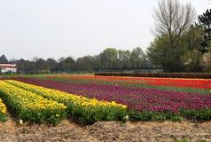 荷兰郁金香领域 免版税库存照片