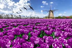 荷兰风车春天风景 图库摄影