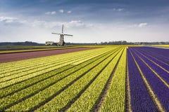 荷兰hyacinthe bullb农场 免版税库存图片