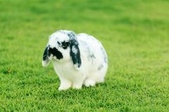 荷兰Lop兔子 免版税库存照片