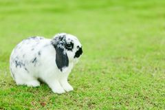荷兰Lop兔子 库存图片