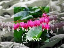 荷包牡丹属植物在春天庭院里 库存图片