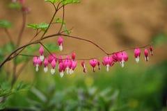 荷包牡丹属植物 免版税库存照片