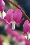 荷包牡丹属植物spectabilis 免版税库存照片