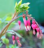 荷包牡丹属植物spectabilis 库存图片