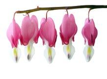 荷包牡丹属植物spectabillis 免版税图库摄影